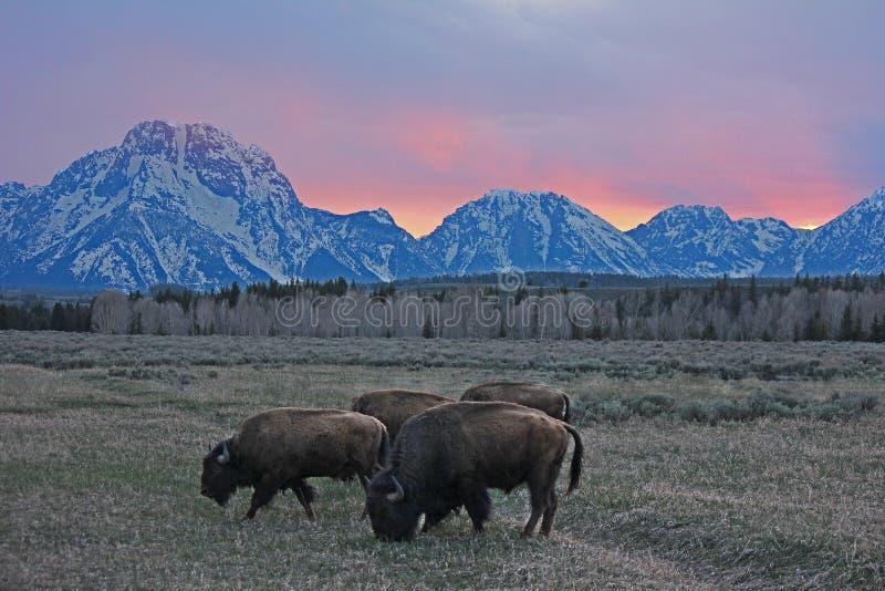 Le bison de Teton images libres de droits