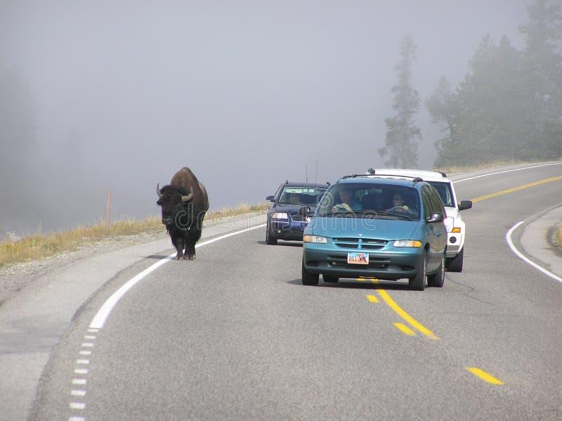 Le bison de Yellowstone est tout à fait confortable partageant la route avec des voitures photographie stock