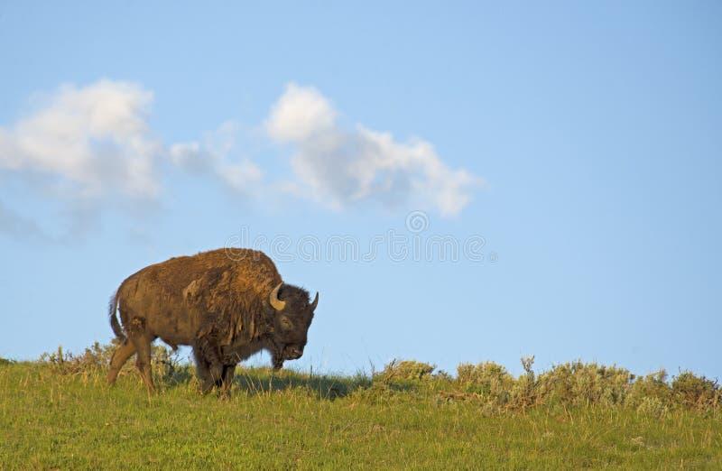 Le bison sauvage se tient sur une colline contre un ciel bleu clair. photographie stock