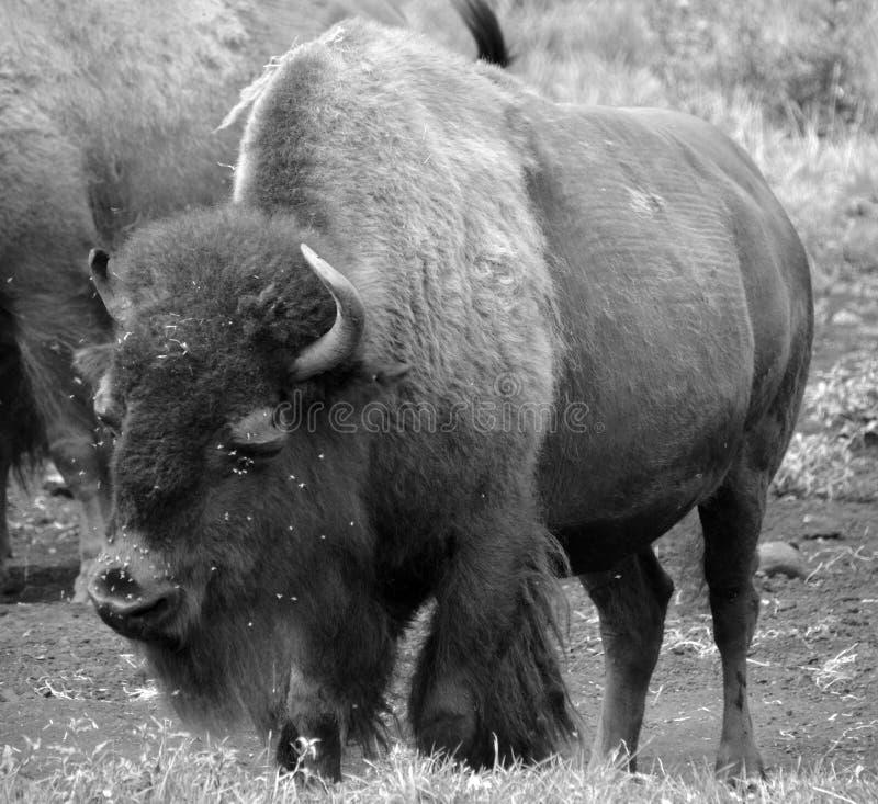 Le bison sont de grands, égal-bottés avec la pointe du pied ungulates photos stock