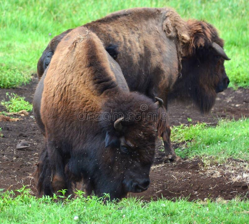 Le bison sont de grands, égal-bottés avec la pointe du pied ungulates images stock