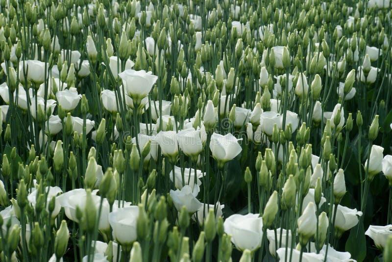 Le blanc a coloré des fleurs de lisianthus sur un lit de serre chaude photographie stock libre de droits