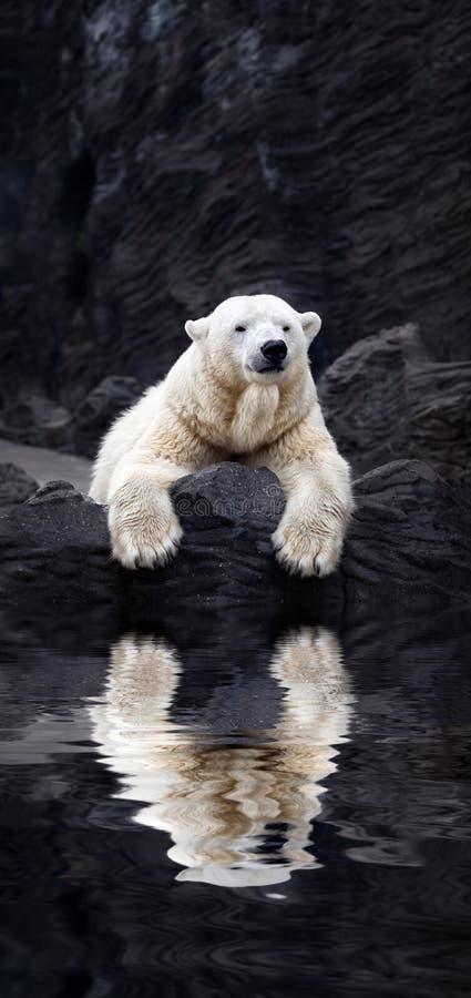 Le blanc concernent les roches, ours blanc menteur situé sur une roche image stock