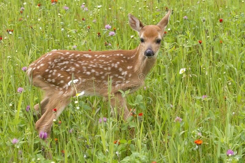 Le blanc a coupé la queue le faon de cerfs communs dans haut étroit de fleurs images libres de droits
