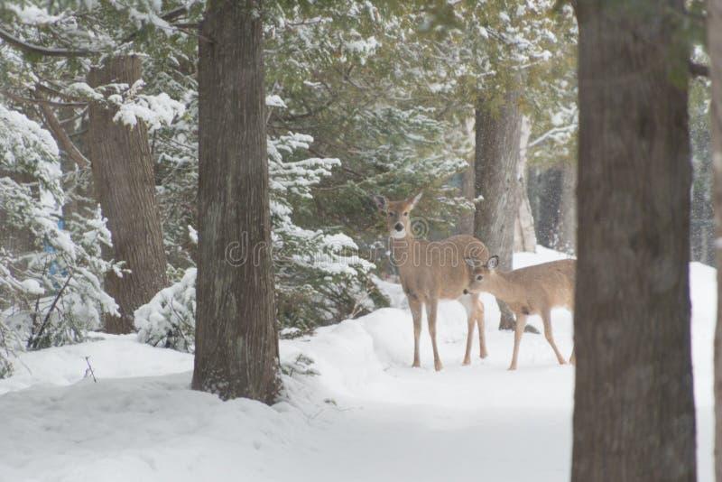 Le blanc deux a coupé la queue les cerfs communs dans les bois et la neige en hiver regardant images stock