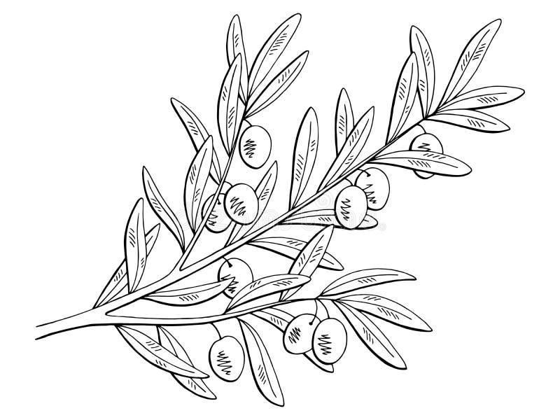 Le blanc graphique olive de noir de branche a isolé le vecteur d'illustration de croquis illustration libre de droits