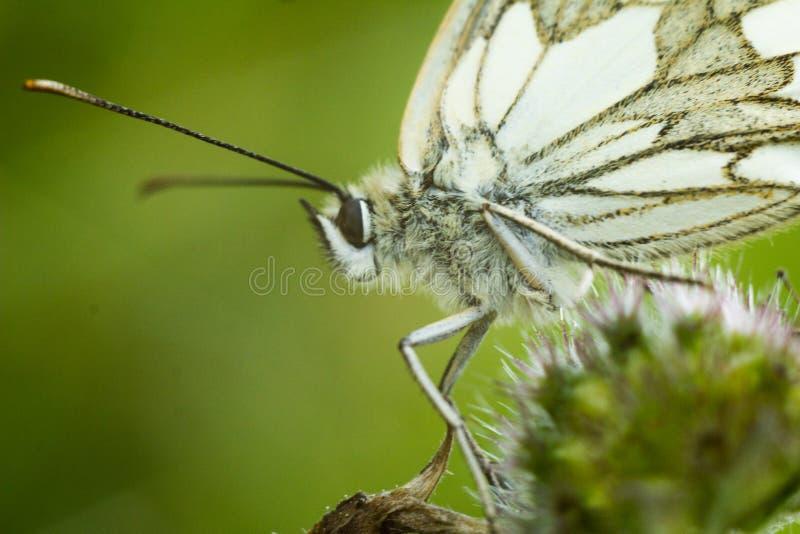 Le blanc marbré - galathea de Melanargia images stock