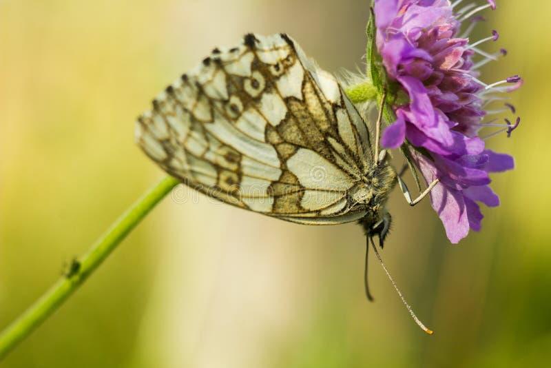 Le blanc marbré - galathea de Melanargia image stock