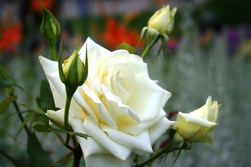 Le blanc a monté des fleurs en parc de Moscou images libres de droits