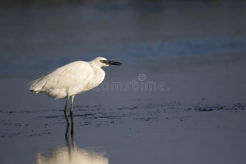 Le blanc morph le héron rougeâtre pataugeant en eau peu profonde image libre de droits