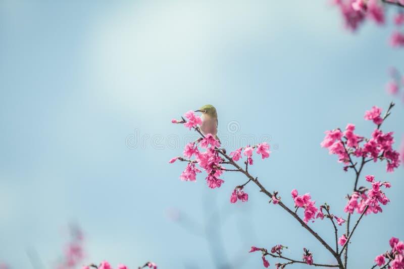 le blanc oeil et les fleurs de cerisier japonais d 39 oiseau photo stock image du motion. Black Bedroom Furniture Sets. Home Design Ideas