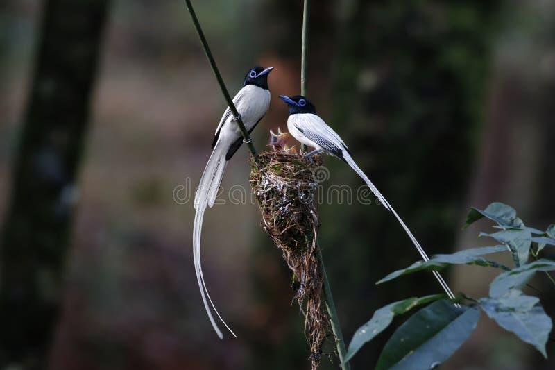 Le blanc paradisi de Terpsiphone de FLYCATCHER asiatique de paradis morph le bébé de nid photos stock