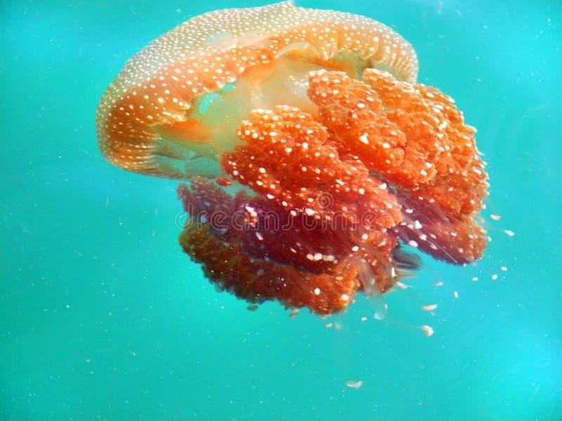 Le blanc a repéré les méduses oranges dans l'eau tropicale Malaisie d'océan photo libre de droits