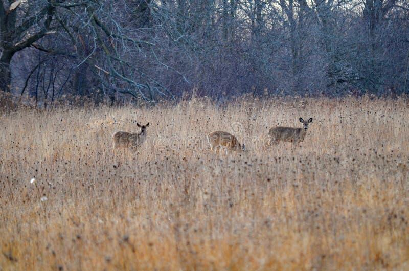 Le blanc sauvage a coupé la queue des cerfs communs posant dans le pré de chute photos libres de droits