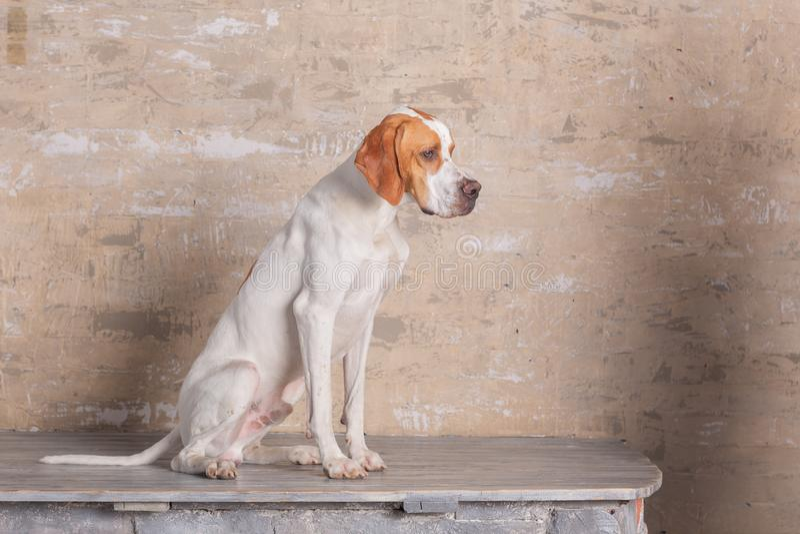 Le blanc triste avec le chien anglais rouge d'indicateur se repose dans un studio de photo au fond du mur de briques de cru photo libre de droits