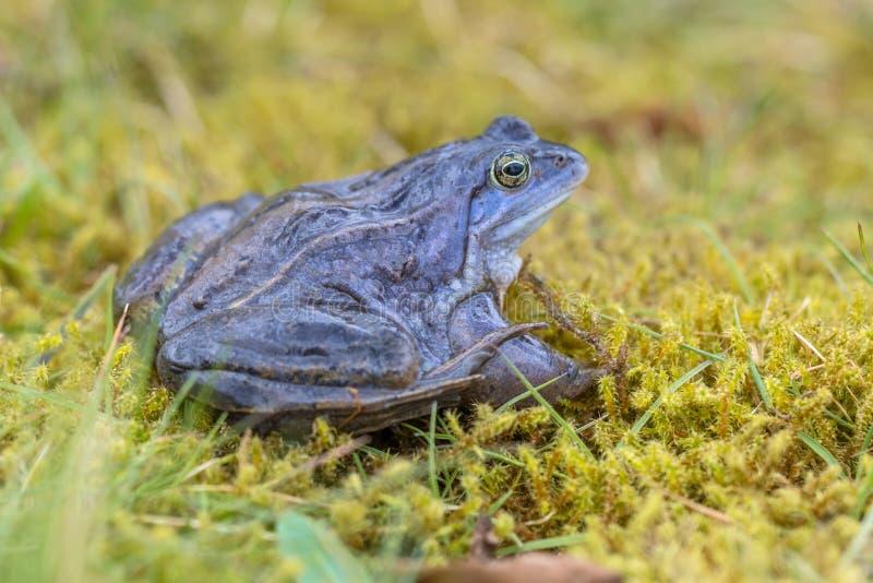 Le bleu amarrent la grenouille avec le dos distictive de doublure dessus photo libre de droits