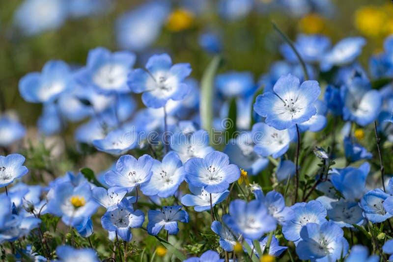 Le bleu layette observe des wildflowers en Californie pendant la fleur superbe Copiez l'espace disponible images stock