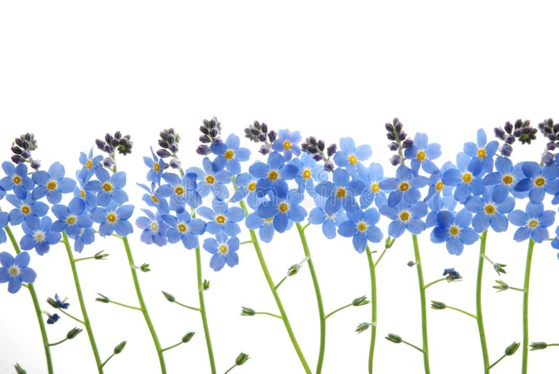 Le bleu m'oublient pas fleur photo stock