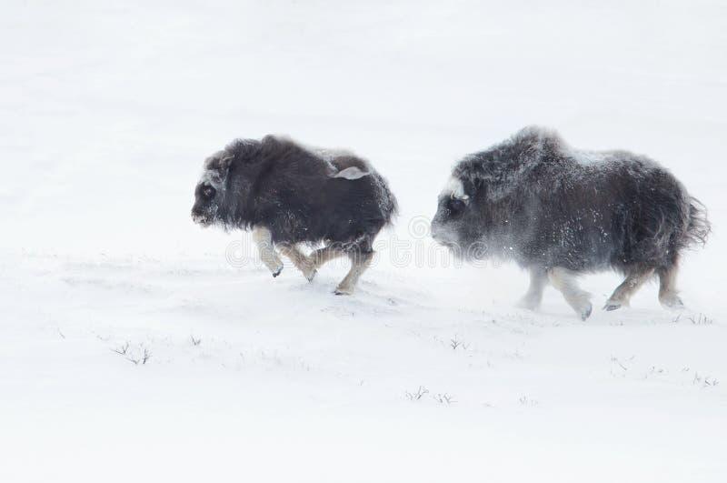 Le boeuf de musc met bas se chasser en hiver dans les montagnes de Dovrefjell images libres de droits