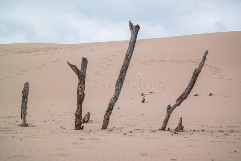 Le bois de flottage colle dans les dunes de sable images stock