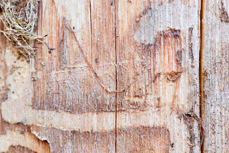 Le bois de pin érodé en trous de ver souffre du foyer choisi par infection de scarabée d'écorce photo libre de droits