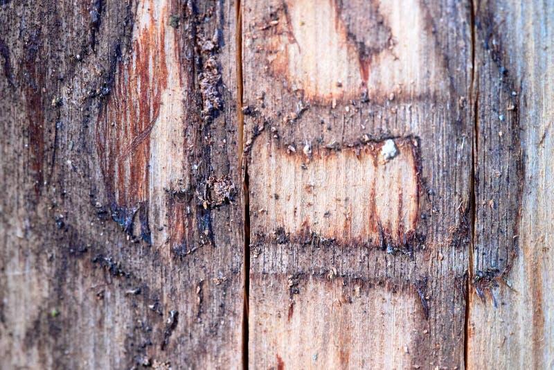 Le bois de pin érodé en trous de ver souffre du plan rapproché de foyer choisi par infection de scarabée d'écorce images libres de droits