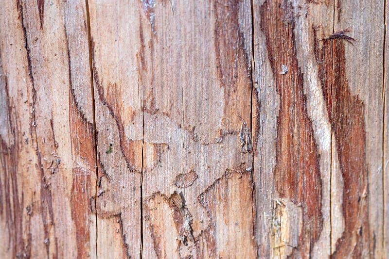 Le bois de pin érodé en trous de ver souffre du scarabée d'écorce que l'infection a choisi le fond en gros plan de texture de foy images stock