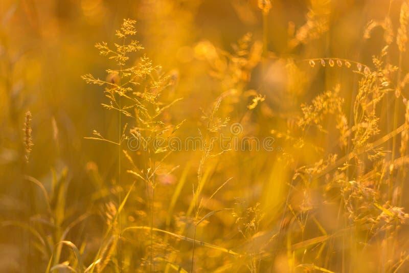 Le bokeh abstrait a brouillé le fond de nature avec l'herbe sauvage et les usines au coucher du soleil photographie stock libre de droits