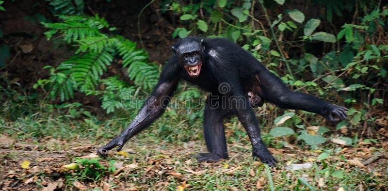 Le bonobo riant photos stock