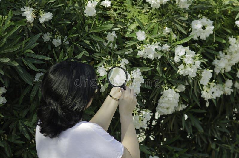 Le botaniste observant l'oléandre fleurit sur l'arbre photographie stock