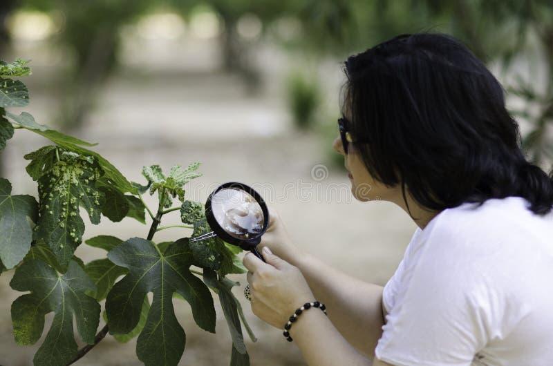 Le botaniste trouvant la feuille écorche sur le figuier photos stock
