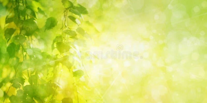 Le bouleau vert part du fond de bokeh photo libre de droits