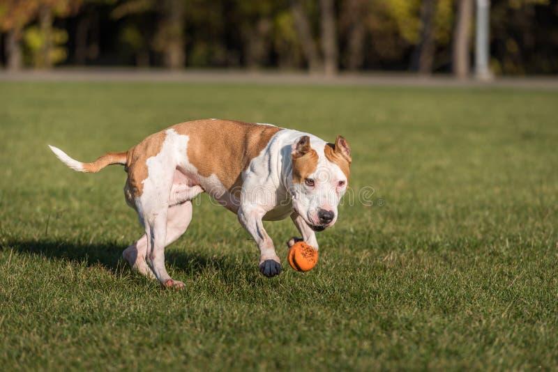Le bouledogue américain fonctionne sur l'herbe Essayez d'attraper une boule photographie stock libre de droits