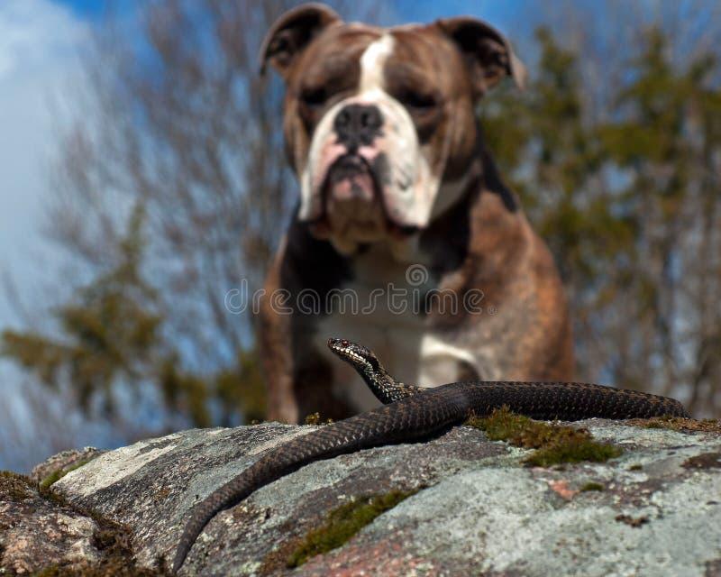 Le bouledogue rencontre un berus de Vipera photographie stock