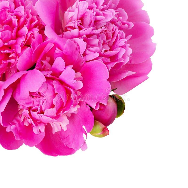 Le bouquet de la pivoine rose fleurit dans un coin image libre de droits