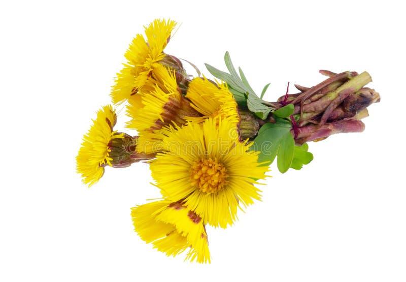 Le bouquet de la première forêt douce jaillit les marguerites jaunes que les fleurs ont isolé macro photographie stock libre de droits