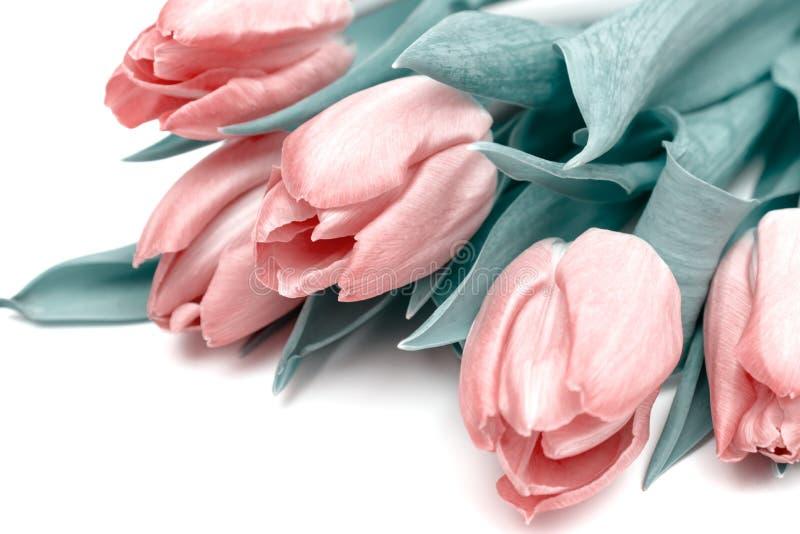 Le bouquet des fleurs de ressort, les tulipes roses sur le fond blanc ferment - la carte de vacances pour le 8 mars, le Saint Val photos stock