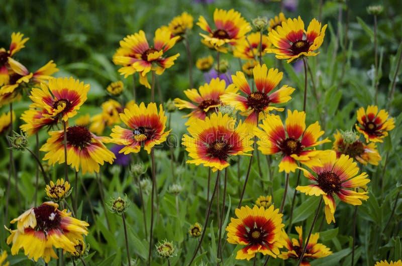 Le bourdon rassemble le nectar des fleurs jaune-rouges image libre de droits