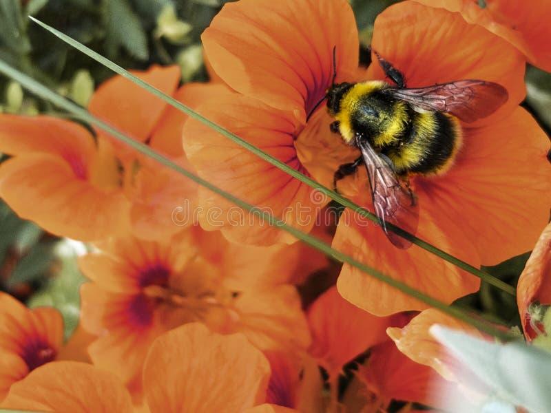 Le bourdon rassemble le nectar sur un macro rouge de fleur image stock