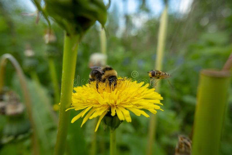 Le bourdon rassemble le pollen sur une fleur de pissenlit À côté de la fleur pilote une abeille image stock