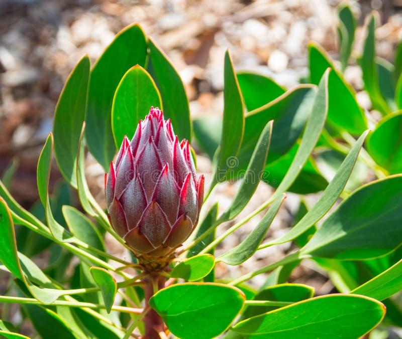 """Le bourgeon floral rouge des cynaroides de protea peu de fleur de prince """"Sugarbush """"avec les feuilles vertes dans un printemps photo stock"""