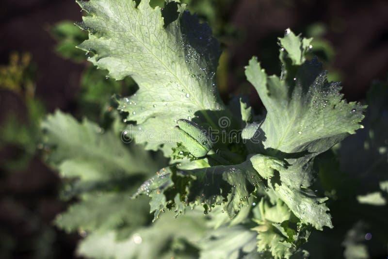 Le bourgeon vert de pavot se développent dans un domaine Pavot à opium, fleur pourpre de pavot avec des baisses Papaver somniferu photographie stock libre de droits