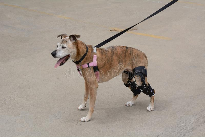 Le boxeur vieillissant a mélangé le chien de race aux accolades de genou image stock