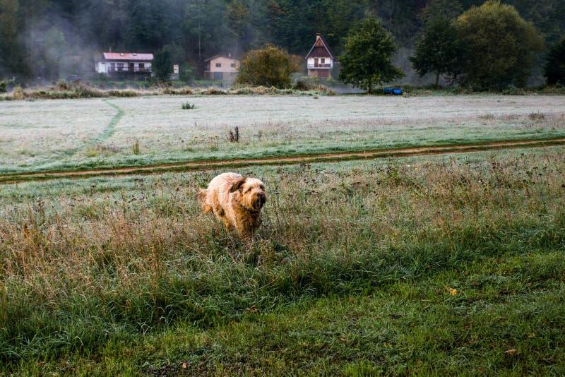 Le briard de chien court plus de le pré congelé photographie stock libre de droits
