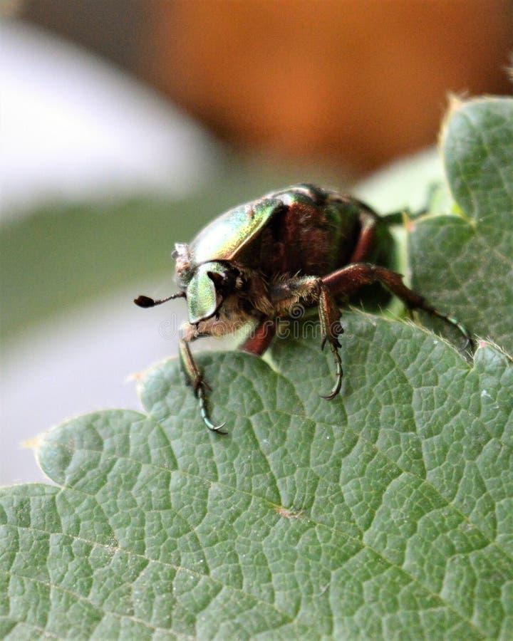 Le bronze de scarabée se repose sur les bourgeons des fraises photographie stock
