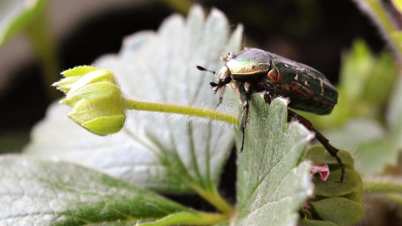 Le bronze de scarabée se repose sur les bourgeons des fraises photo libre de droits
