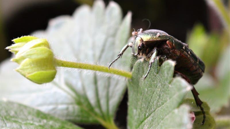 Le bronze de scarabée se repose sur les bourgeons des fraises photos libres de droits