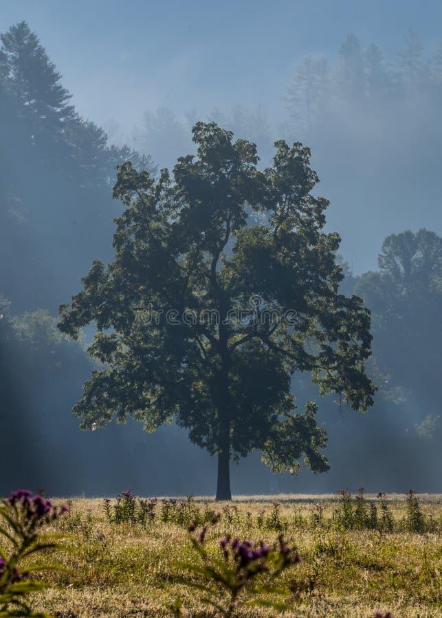 Le brouillard de matin couvre le grand arbre et le champ ouvert photos stock