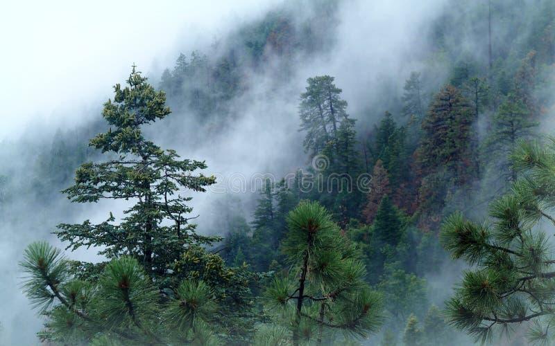 Le brouillard se lève rapidement par la forêt de la jante de Mogollon images libres de droits
