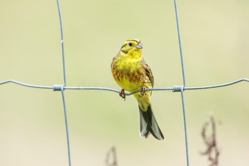 Le bruant jaune était perché sur une barrière de jardin photo libre de droits
